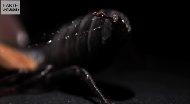 Vinegaroon-Whip Scorpion plus firing from Earth Unplugged YouTube channel (3)